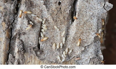 Macro of termites or white ants - Set collection montage,...