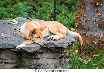 A dingo laying on a rock