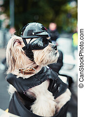 Tough biker dog on the street in city