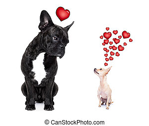 two dogs in love - chihuahua and french bulldog, attracted...