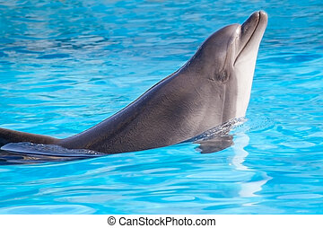 dolphin - beautiful dolphin swims in the water