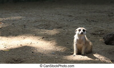 Cute meerkats family, HD Clip