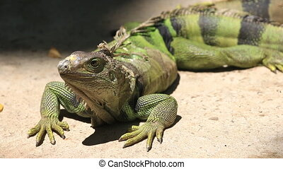 Big Green iguana on ground, HD Clip