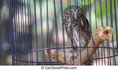 Close up Collared owlet, Collared pygmy owl in birdcage, HD...