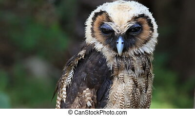 Close up big owl, green forest background, HD Clip.