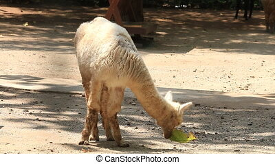 Cute White Alpaca eat leaf . - Cute White Alpaca eat leaf ,...
