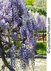 Wistaria Blossom - Spring Purple Wistaria Blossom in Garden...