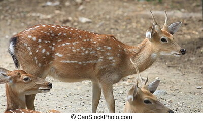 Axis deer resting on ground - Chital, Cheetal, Spotted or...