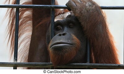 Big orangutan in cage - Close up Big orangutan in cage, HD...