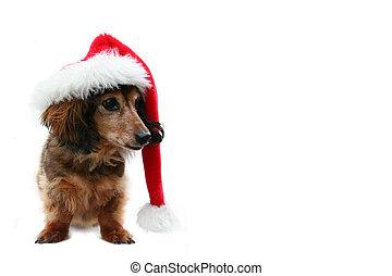 Christmas Dachshund. - Longhair dachshund pup in a Santa...