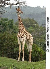 Giraffe Scratching - Giraffe scratching against a dead...