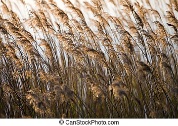 Landscape - Rushes - Rushes early spring in the evening