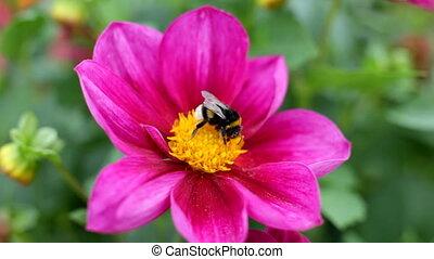 bumblebee on flower macro