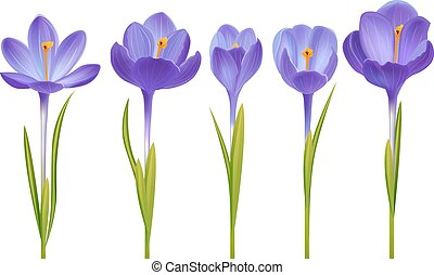 Crocus isolated on white - Various realistic crocus flowers...