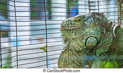 iguana - an iguana is in its cage