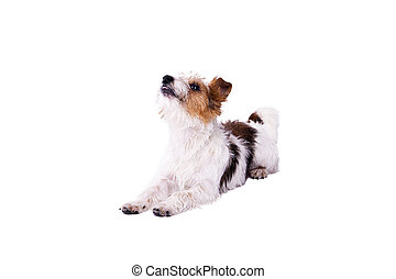 nice, cute dog Jack Russell terrier with pleasure looks at...