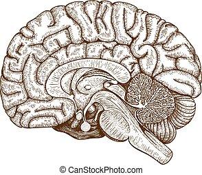 engraving human brain - Vector engraving antique...