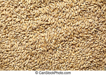 Malt grains - Pile of barley malt grain forming a uniform...