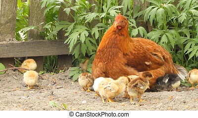 Hen and baby chickens on the rural