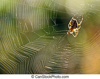 Garden spider in web with sun side light