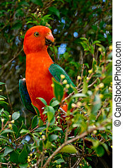 Australian King Parrot - detail of Australian King Parrot in...
