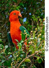 Australian King Parrot - detail of Australian King Parrot in...