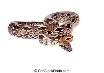 Madagascar or Malagasy ground boa on white - Madagascar or...