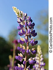 Spikes of purple wildflowers vicia cracca
