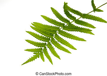 Fern leaf with water drops close-up on white background