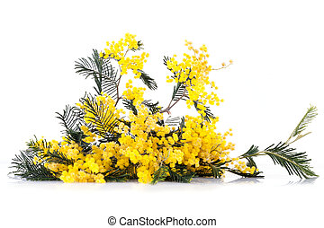 Twig Of Mimosa Flowers - Twig of mimosa flowers on white...