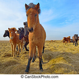 Icelandic horses in a field in spring time