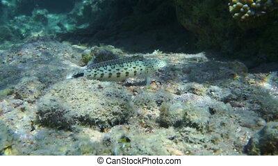 Hawksbill sea turtle (Eretmochelys imbricata) in blue water