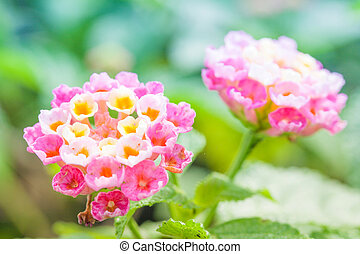 lantana, flor