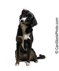 pies, -, słuchający
