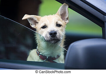Young Dog in Car - Young puppy looking and waiting to get...