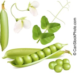 Green peas, leaves and blossoms. Vector illustration