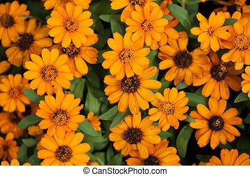 Calendula - Orange Calendula flowers