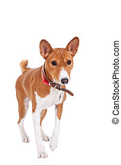 Basenji dog, 2 years old, isolated on white background