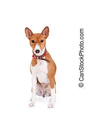 Basenji dog, 2 years old, isolated on white background