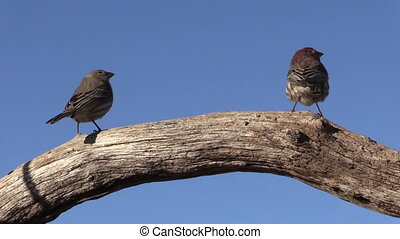 House Finch - a house finch on a log
