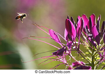 Sunlit bumble Bee - Sunlit bumble bee with green background...