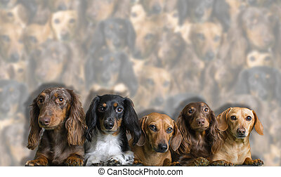 Group of Mini-Dachshunds sticking toether - Group of five...