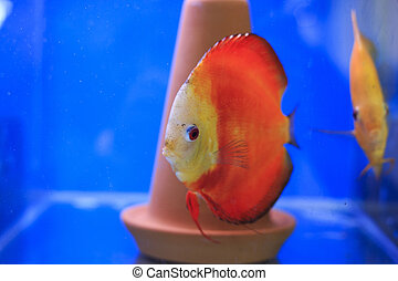 Red discus in tank