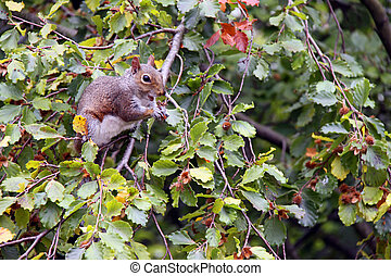 Squirrel eating nuts in a tree - Squirrel eating nuts in a...