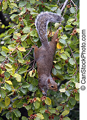 Squirrel in a Beech tree - Squirrel climbing in a garden...
