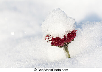 New snow covers the daisy flower