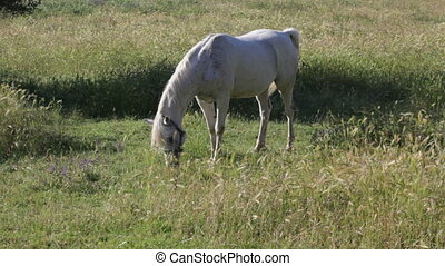 Gray horse is grazed in the field with oats early in the...