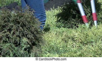 Work in garden. Gardener cutting bush - Work in garden. View...