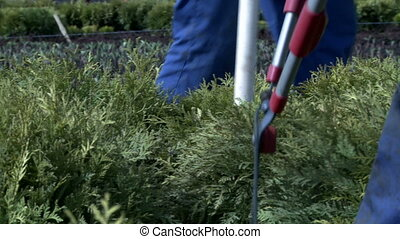 Close-up of cutting bushes with secateurs