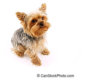Cute puppy of a Yorkshire Terrier